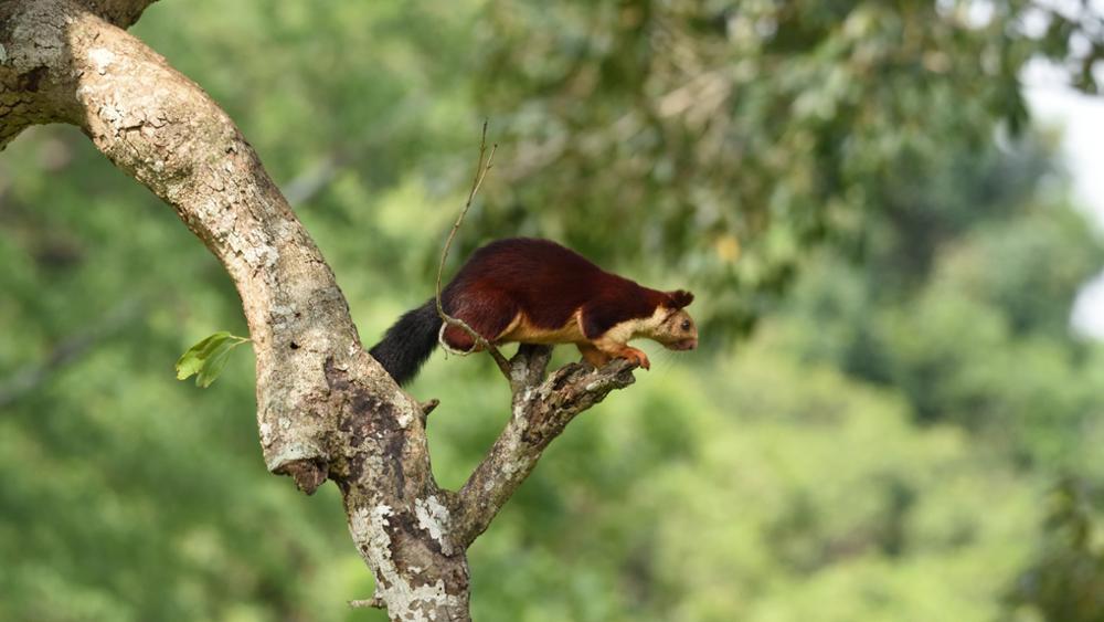 L'écureuil mutlicolore indien