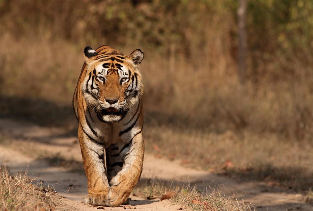 Où observer les tigres en Inde ?